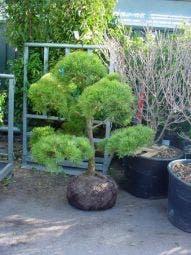 Grove Den (Pinus sylvestris 'Norske Typ')