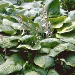 Hosta sieboldiana (Funkia/Hartlelie)