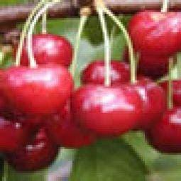 Lei-Kers (Prunus avium 'Regina')