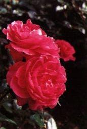 Grootbloemige roos (Rosa  rood)