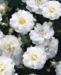 Heesterroos (Rosa - wit)