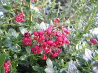 Escallonia (Escallonia 'Red Elf')