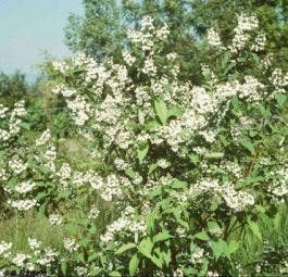 Bruidsbloem (Deutzia magnifica)