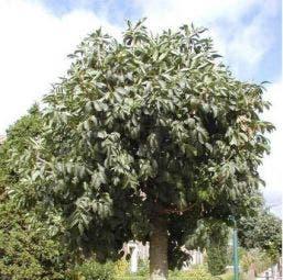 Pluim Es (Fraxinus ornus 'Meczek')
