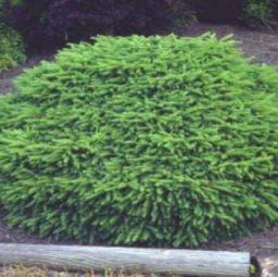 Spar (Picea abies 'Nidiformis')
