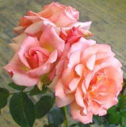Klimroos (Rosa 'Compassion')