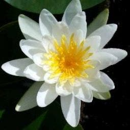 Waterlelie (Nymphaea 'Marliacea Albida')