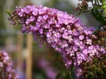 Vlinderstruik (Buddleja davidii 'Charming')