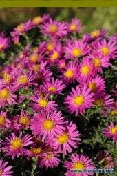 Aster (Aster 'Alice Haslam')