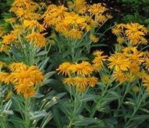 Zonnekruid (Helenium hoopesii)