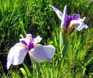 Japanse iris (Iris ensata) (Iris kaempferi)