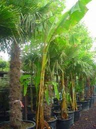 Bananenboom (Musa basjoo)