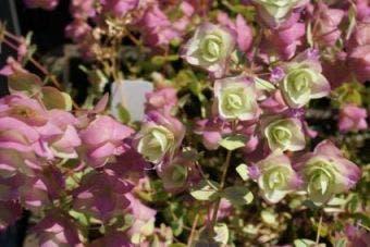 Marjolein (Origanum rotundifolium 'Kent Beauty')