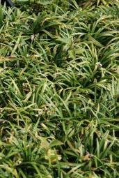 Slangebaard / Japans slangengras (Ophiopogon japonicus 'Minor')
