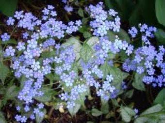 Kaukasische vergeet-mij-niet (Brunnera macrophylla 'Looking Glass')