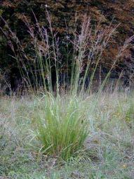 Pijpestrootje (Molinia arundinacea 'Transparant')