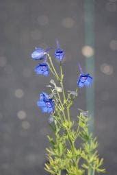 Ridderspoor  (Delphinium grandiflorum 'Blauer Zwerg')