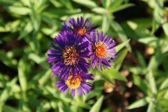 Aster (Aster novi-belgii 'Violetta')