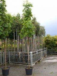 Noorse Esdoorn (Acer platanoides 'Emerald Queen')