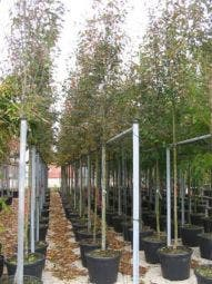 Krentenboom (Amelanchier arborea 'Robin Hill')