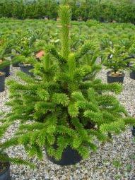 Apeboom/Slangeden (Araucaria araucana)