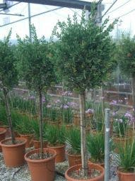 Lampepoetserplant op stam (Callistemon laevis )