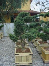 Libanonceder als bonsai (Cedrus libani)