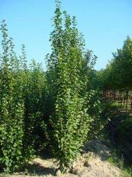 Zuilhaagbeuk (Carpinus betulus 'A. Beeckman')