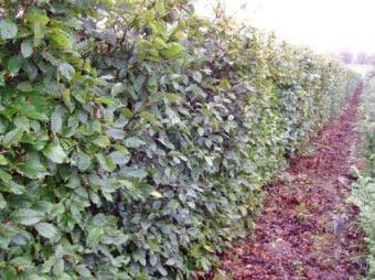 Carpinus betulus, haag