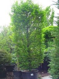Haagbeuk als leivorm (Carpinus betulus)