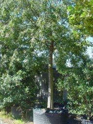 Netelboom (Celtis australlis)