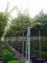 Bonte Olijfwilg als boom (Elaeagnus ebbingei 'Limelight')