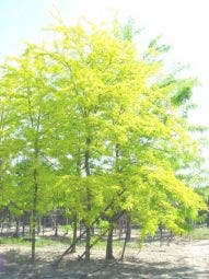 Geelbladige Christusdoorn (Gleditsia triacanthos 'Sunburst')