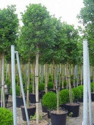 Hulst als boom (Ilex 'Nellie R. Stevens')