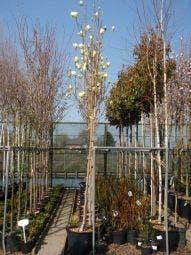Beverboom (Magnolia 'Yellow River')
