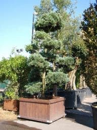 Blauwe Den als bonsai (Pinus parviflora 'Glauca')