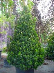 Portugese laurier, piramide (Prunus lusitanica )