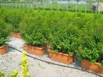 Portugese laurier als meeneemhaag (Prunus lusitanica)