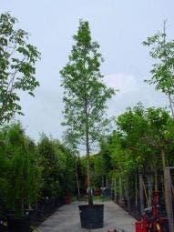 Moeraseik (Quercus palustris)