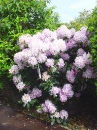 Rhododendron (Rhododendron 'Album Novum')