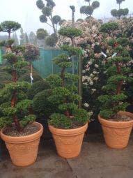 Japanse Taxus als bonsai (Taxus cuspidata )