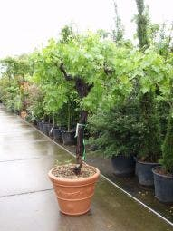 Druif , op stam (Vitis vinifera)