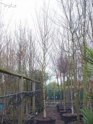 Berk als dakboom (Betula pendula)
