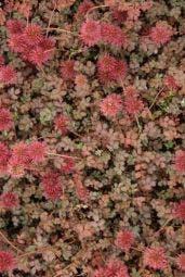Stekelnootje (Acaena microphylla 'Kupferteppich')