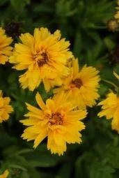 Meisjesogen (Coreopsis grandiflora 'Early Sunrise')
