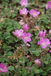 Reigersbek (Erodium variabile 'Bishop's Form')