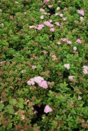 Spierstruik (Spiraea japonica 'Little Princess')