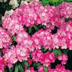 Japanse Azalea (Rhododendron 'Kermesina')