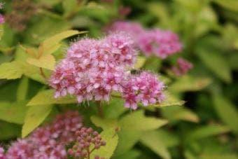 Spierstruik (Spiraea japonica 'Goldmound')