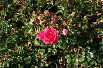 Bodembedekkende Roos (Rosa 'Neon')